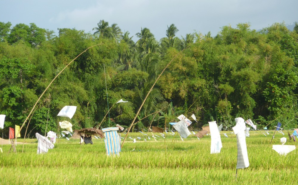 rice fields with flags, crop