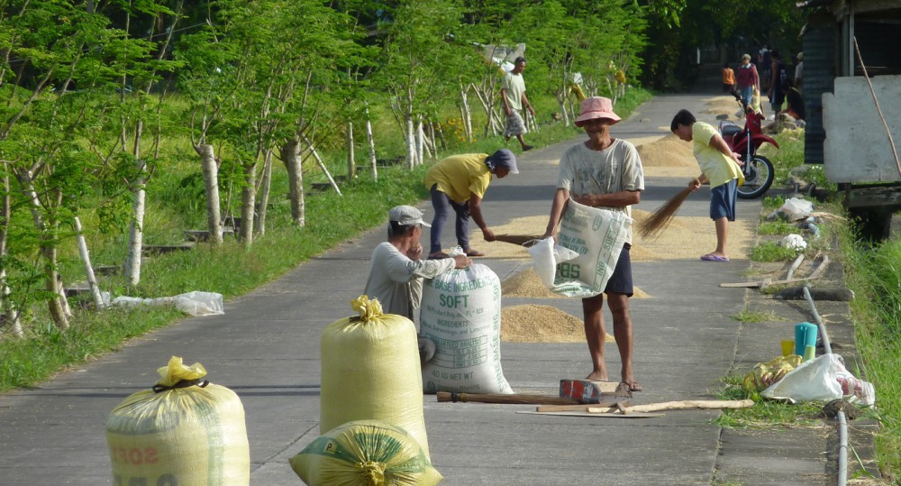 drying palay, cropped